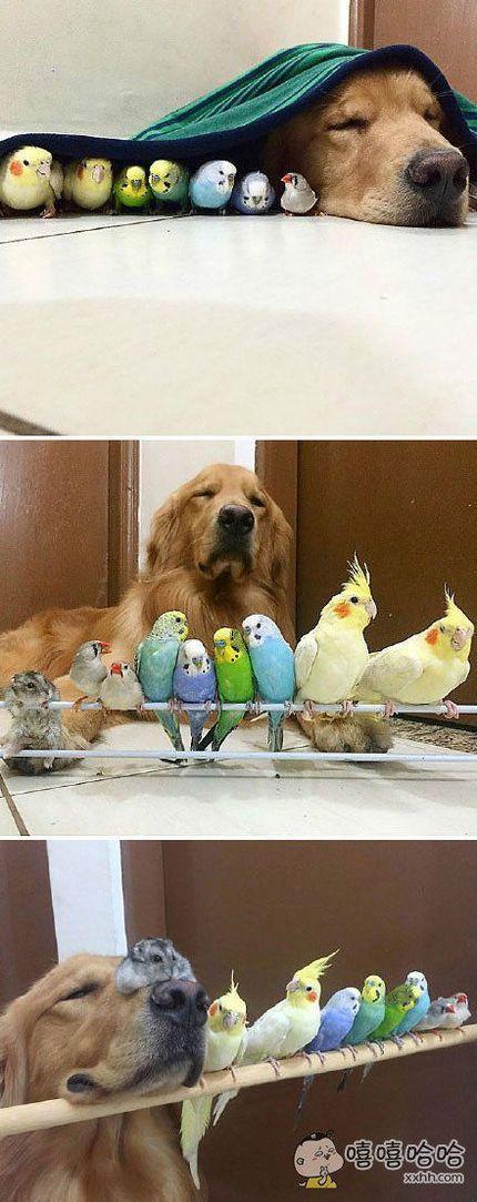 一只金毛和一只仓鼠加上八只小鸟的幸福生活