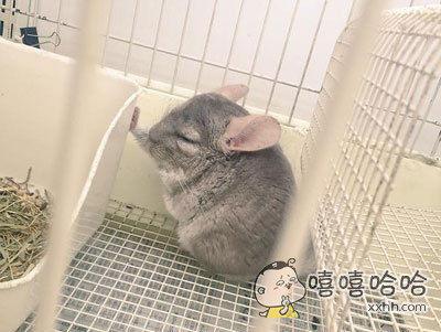 发现一只长尾龙猫保持着壁咚的姿势睡着了,是在梦中梦到了想壁咚的对象了嘛