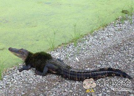 鳄鱼都有皮草了?