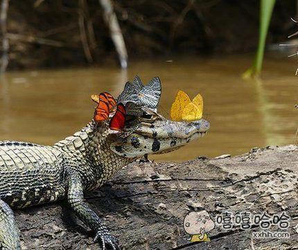我知道,这是香鳄