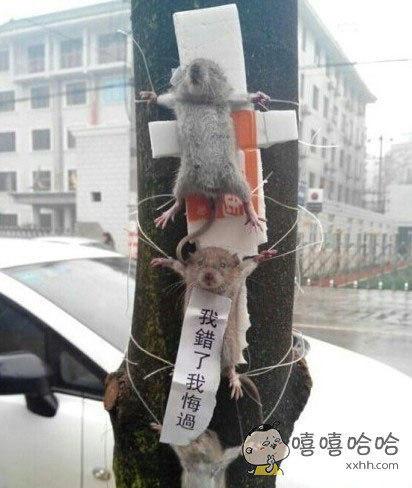 """老鼠偷吃蔬菜被抓""""示众"""""""
