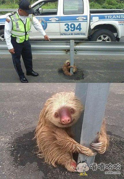 被这只在厄瓜多尔想要横穿高速公路,被吓得脚软的小可爱戳中萌点了