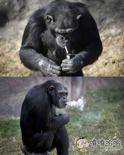 动物园内的一枚老烟枪!19岁雌性黑猩猩Dalle酷爱吸烟,每天能抽一包