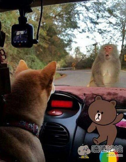 主银带柴柴去散步的时候遇上一只小猴子,感觉好像神奇宝贝要对战啦