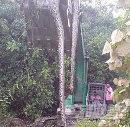 惊呆!村民抓捕挖出140岁蛇精全过程曝光