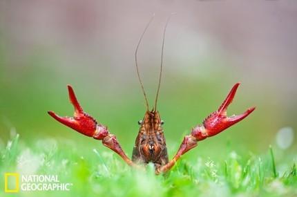 美国各州奇特官方象征生物:小龙虾上榜